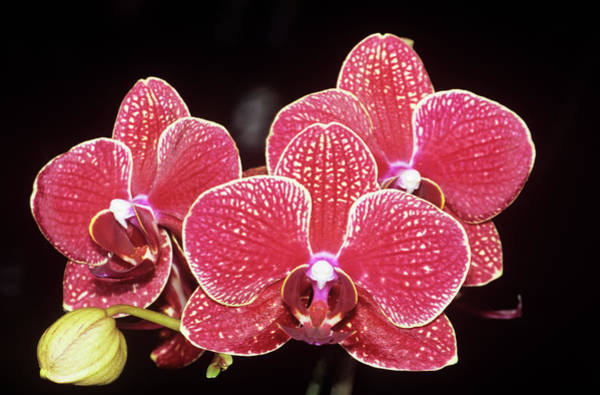 Orchis Photograph - Orchid (orchis Phalaenopsis) by M F Merlet/science Photo Library