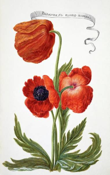 Wall Art - Photograph - Oriental Poppy (papaver Orientale) by Natural History Museum, London/science Photo Library
