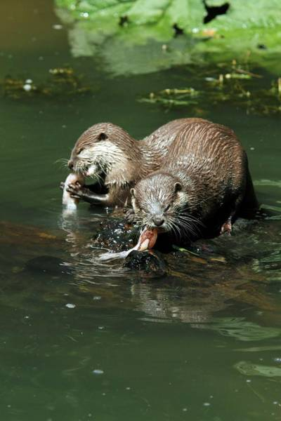 Clawed Photograph - Oriental Small-clawed Otters Feeding by Chris B Stock/science Photo Library