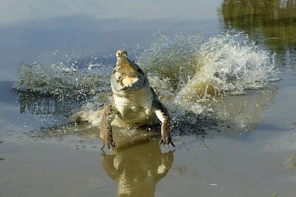 American Crocodile Photograph - Orinoco Crocodile Protecting Nest by M. Watson