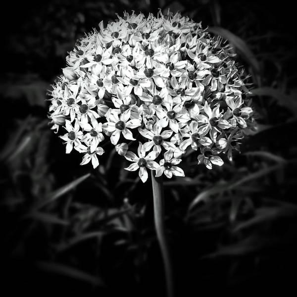 Photograph - Ornamental Onion by Natasha Marco