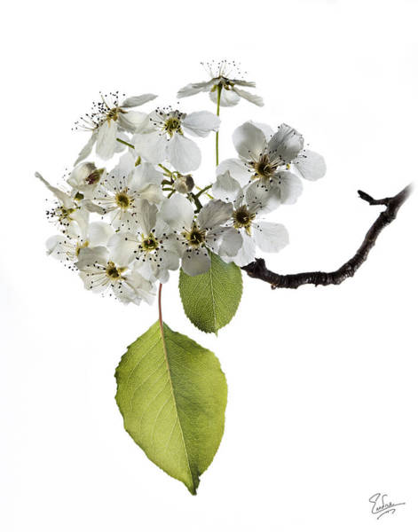 Photograph - Ornamental Pear by Endre Balogh