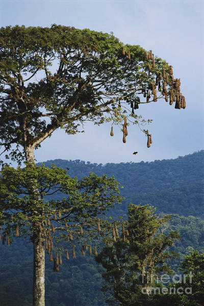 Icterid Photograph - Oropendola Nests by Gregory G. Dimijian, M.D.