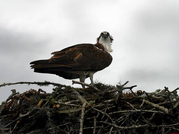 Wall Art - Photograph - Osprey Nest by Anthony Jones