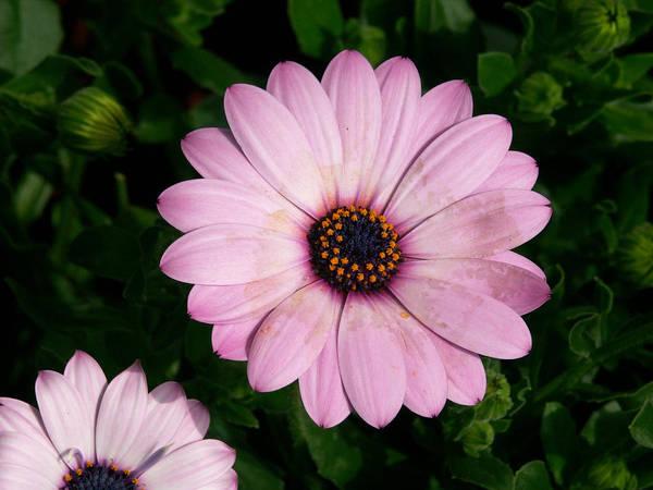 Osteospermum Hybrid Photograph - Osteospermum Hybrid Soprano Light Purple by Bonnie Sue Rauch