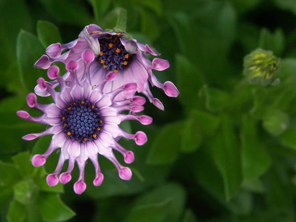Osteospermum Hybrid Photograph - Osteospermum Hybrid Soprano Lilac Spoon by Bonnie Sue Rauch