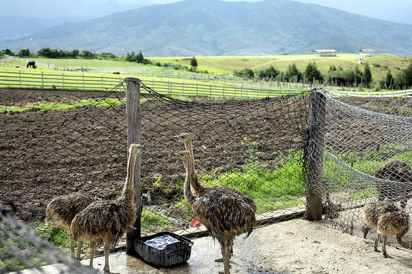 Ostrich Photograph - Ostrich Farm by Dr Morley Read/science Photo Library