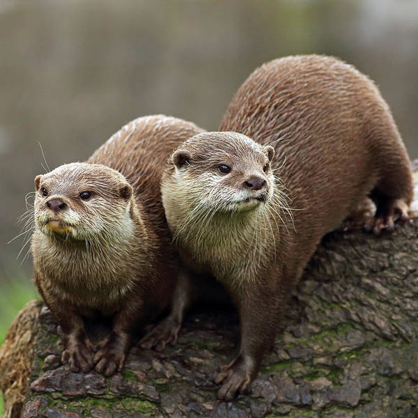 Photograph - Otters by Grant Glendinning