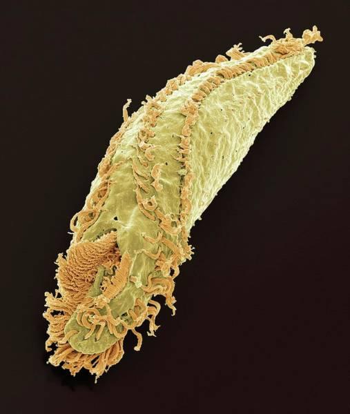 Buccal Wall Art - Photograph - Oxytricha Ciliate Protozoan by Steve Gschmeissner