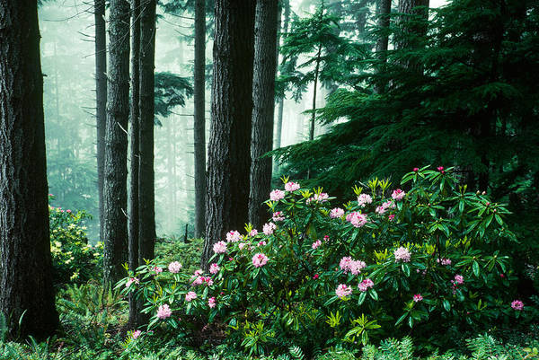 Photograph - Pacific Rhododendron by Thomas And Pat Leeson