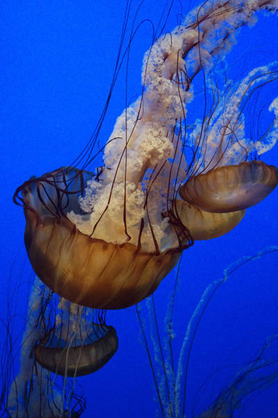 Photograph - Pacific Sea Nettles by Hiroya Minakuchi
