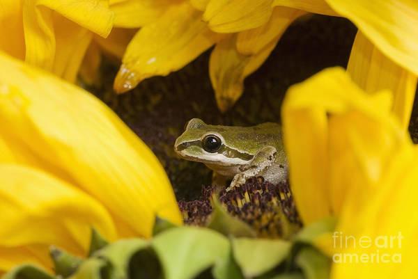 Photograph - Pacific Treefrog On Sunflower by Dan Suzio
