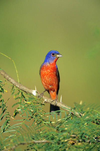 Bunting Photograph - Painted Bunting (passerina Ciris by Richard and Susan Day