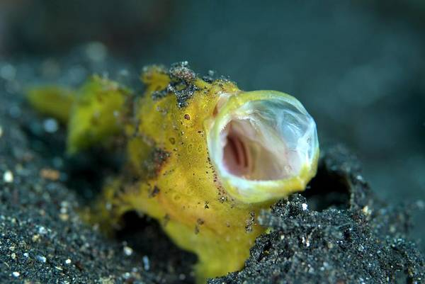 Angling Photograph - Painted Frogfish by Scubazoo/science Photo Library