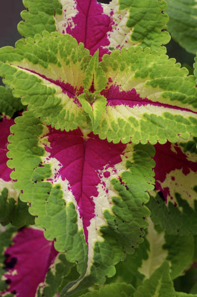 Wall Art - Photograph - Painted Nettle Leaves (coleus Blumei) by Brian Gadsby/science Photo Library