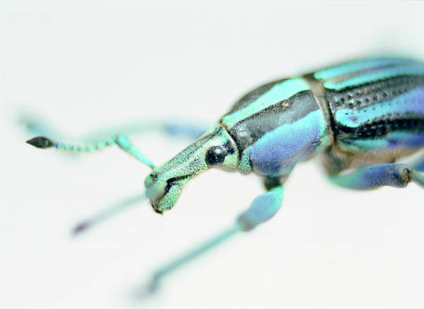 Wall Art - Photograph - Painted Weevil by Lawrence Lawry