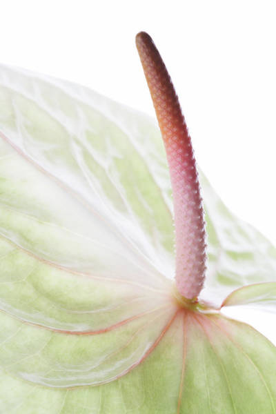 Palette Photograph - Painter's Palette (anthurium Andraeanum) by Kate Jacobs/science Photo Library
