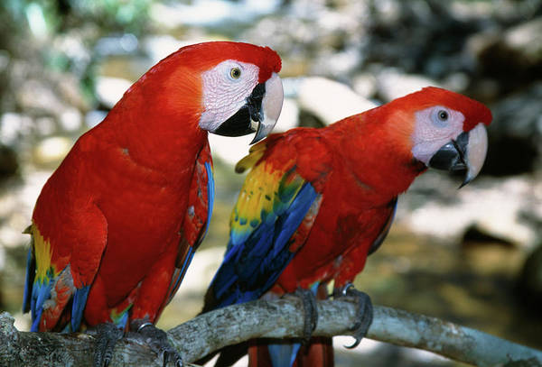 Macaw Photograph - Pair Of Scarlet Macaws On Branch by Animal Images