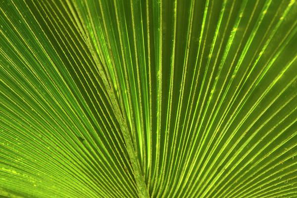Fronds Photograph - Palm Frond, Nadi, Viti Levu, Fiji by David Wall