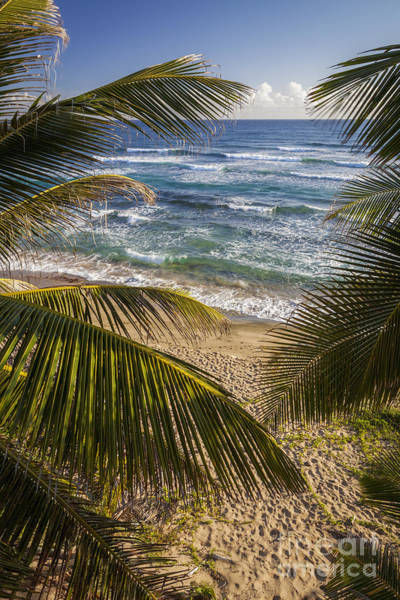 Photograph - Palm Trees On Isabel Beach In Puerto Rico by Bryan Mullennix