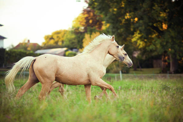 Palomino Photograph - Palomino Horses Cantering In Field by Olivia Bell Photography