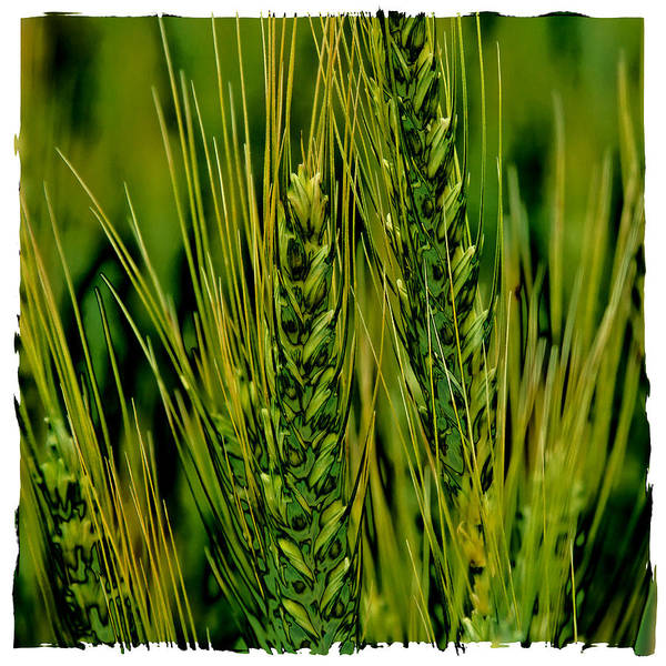 Photograph - Palouse Wheat Iv by David Patterson