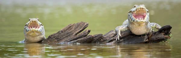 Carnivora Photograph - Pantanal Caiman, Pantanal Wetlands by Panoramic Images