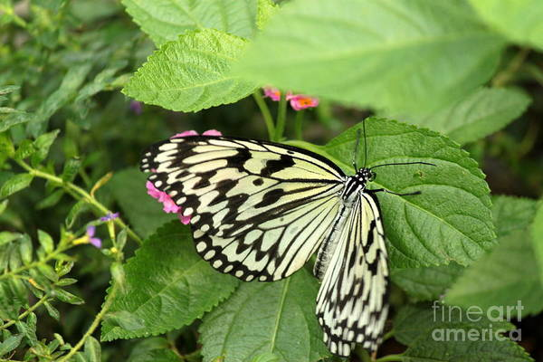 Wall Art - Photograph - Paper Kite Butterfly 2 by Eric Irion
