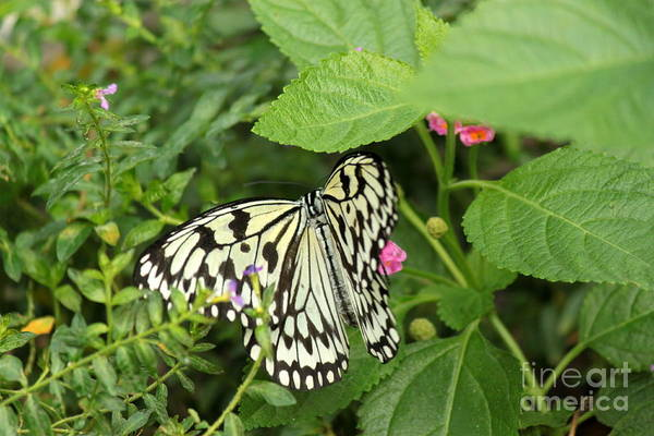 Wall Art - Photograph - Paper Kite Butterfly On Flower by Eric Irion