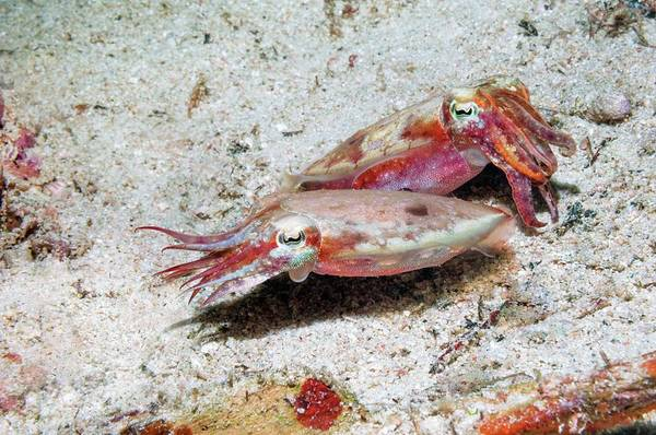 Courtship Display Photograph - Papuan Cuttlefish Courtship by Georgette Douwma/science Photo Library