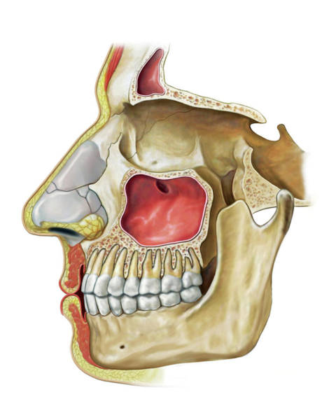 Upper Body Photograph - Paranasal Sinuses by Asklepios Medical Atlas