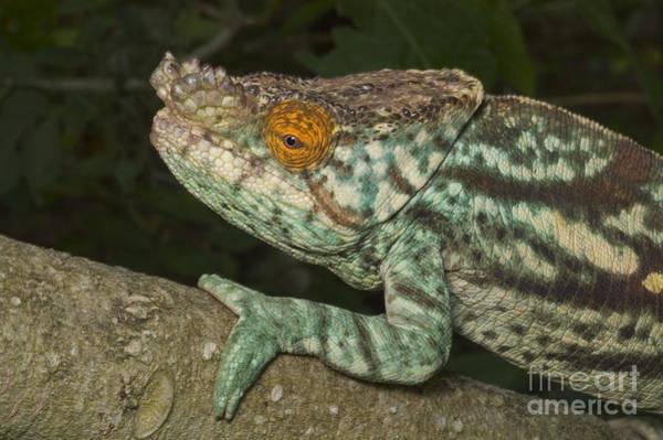 Photograph - Parsons Chameleon by Greg Dimijian