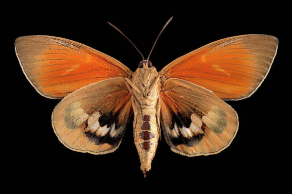 Wall Art - Photograph - Paysandisia Moth by Pascal Goetgheluck/science Photo Library
