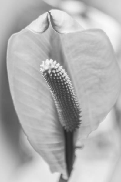 Photograph - Peace Lily Elegance by Carolyn Marshall