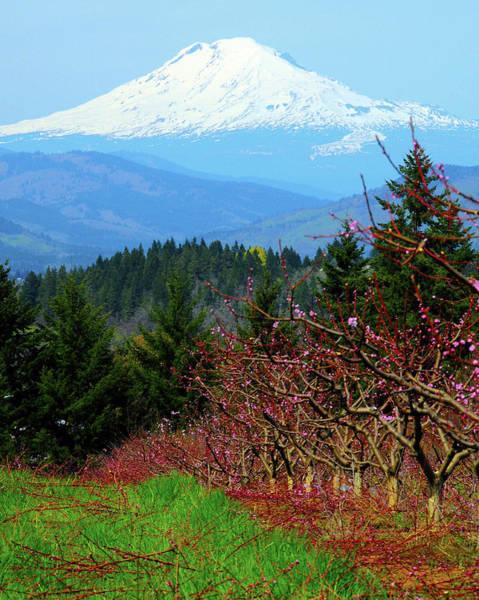 Mount Hood Photograph - Peach Blossoms, Hood River, Oregon, Usa by Michel Hersen