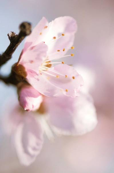 Persica Wall Art - Photograph - Peach (prunus Persica) Tree In Blossom by Maria Mosolova/science Photo Library