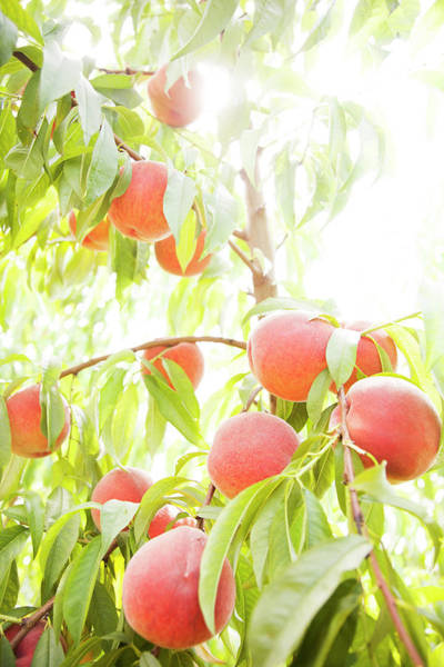 Coral Photograph - Peaches Growing In Tree by Jacqueline Veissid