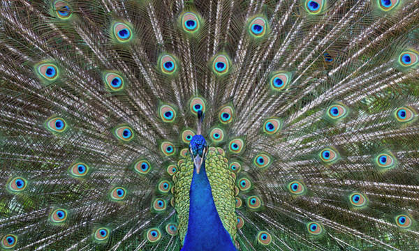 Mating Ritual Photograph - Peacock In Full Display Mode Attempting by Robert Postma