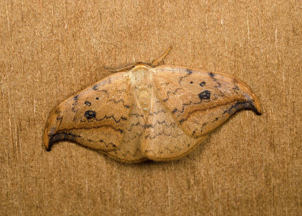 Entomological Photograph - Pebble Hook-tip Moth by Nigel Downer