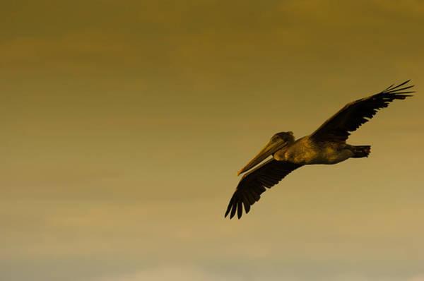 Photograph - Pelican by Sebastian Musial
