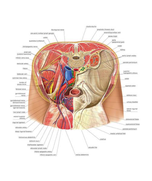 Abdominal Photograph - Pelvis by Asklepios Medical Atlas