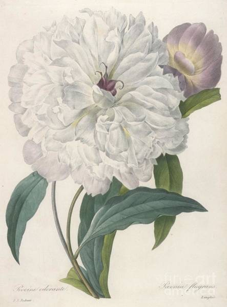 Plant Reproduction Painting - Peony by Pierre Joseph Redoute