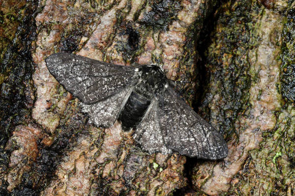 Bark Wall Art - Photograph - Peppered Moth by Nigel Downer