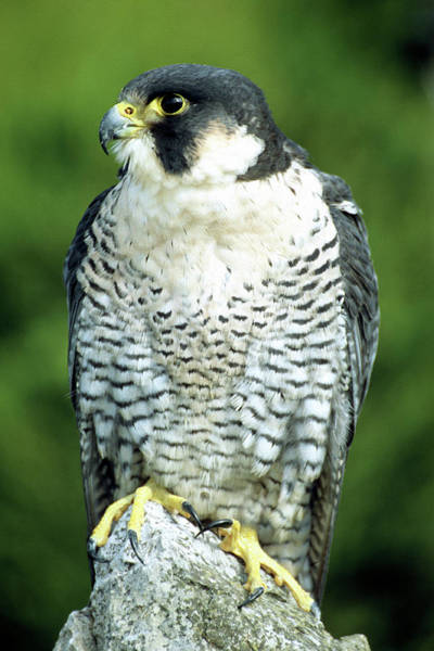 Peregrine Photograph - Peregrine Falcon by John Devries/science Photo Library