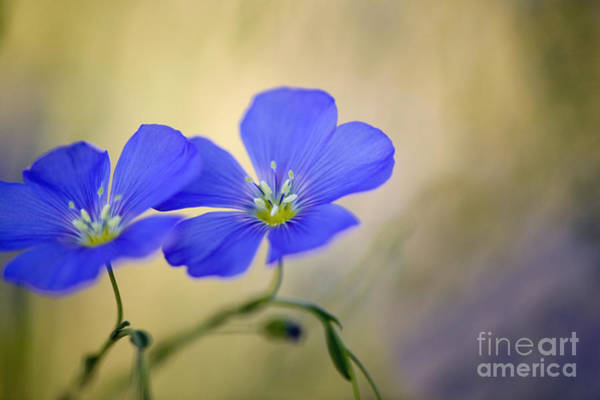 Photograph - Perennial Flax Flowers by Inga Spence