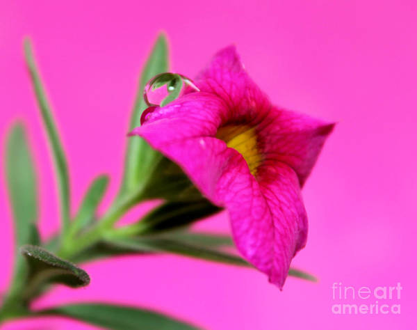 Petunias Photograph - Perfectly Pink by Krissy Katsimbras