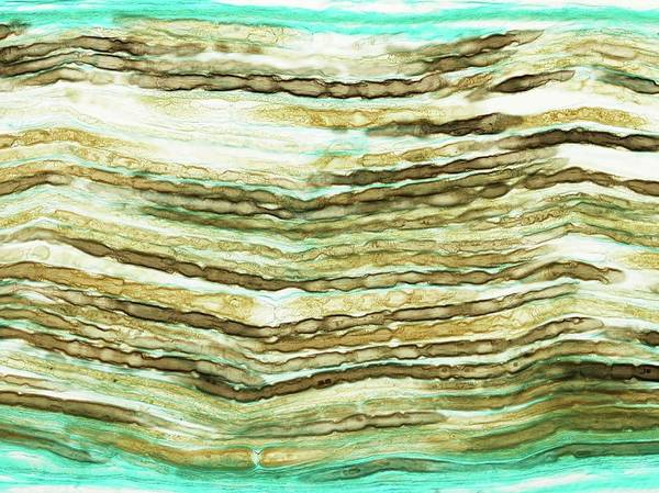 Myelin Wall Art - Photograph - Peripheral Nerve by Microscape