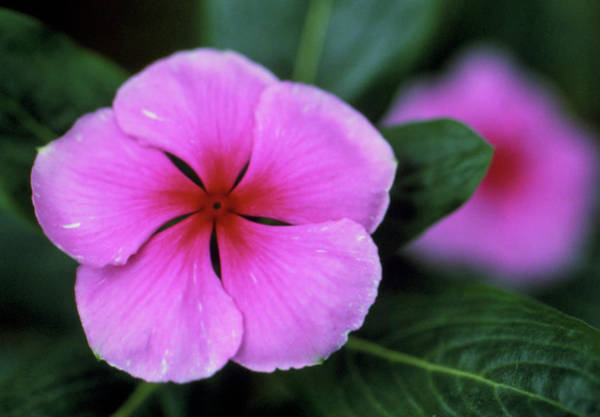 Madagascar Photograph - Periwinkle Flowers by Jerry Mason/science Photo Library