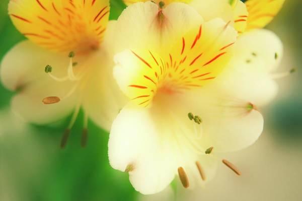 Alstroemeria Photograph - Peruvian Lily (alstroemeria Haemantha) by Maria Mosolova/science Photo Library