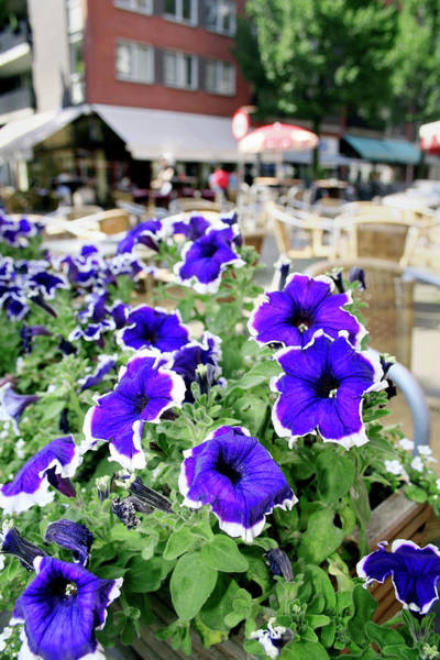Petunia Photograph - Petunia Flowers by Chris Martin-bahr/science Photo Library